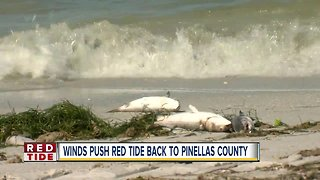 Hurricane Michael winds push Red Tide back to Pinellas County