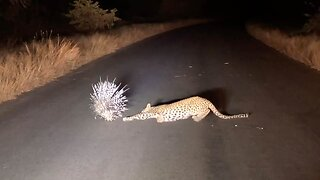 PRICKLY PREDICAMENT FOR LEOPARD AS THEY FAIL TO HUNT PORCUPINE