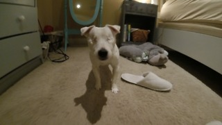 Eyeless Jack Russell navigates home with ease - Video