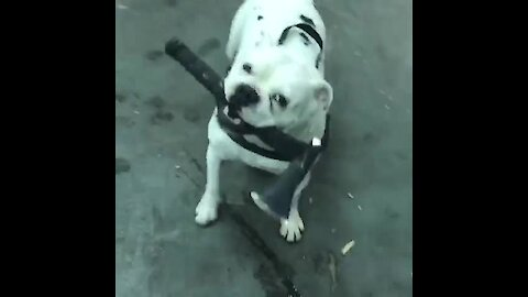 Crazy axe-wielding bulldog channels inner viking
