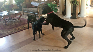 Great Dane invites doggy friends over for play date