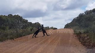 Kangaroo fight in the middle of the road in Australia