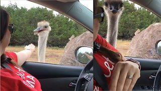 Impatient ostrich nearly steals wedding ring and then leaves woman with bruise after nipping at fingers and arm - Video