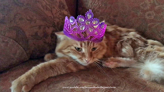 Patient Cat Reluctantly Models Various Crowns