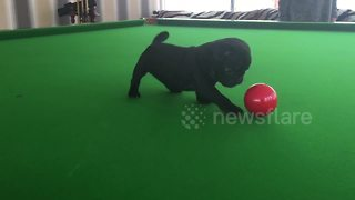 Cute overload! Pug puppy pots snooker ball - Video