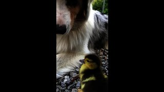 Australian Shepherd befriends newly hatched duckling
