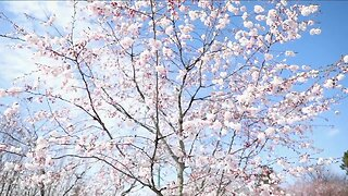 Cherry Blossom - special digital program