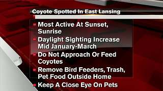 Coyote sighting reported in East Lansing neighborhood - Video