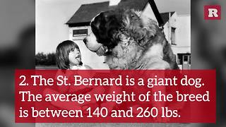 Fun and Lovable Facts on the St. Bernard | Rare Animals - Video
