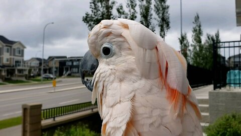Confused cockatoo thinks he's a chicken