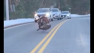 Turkey Halts Traffic on New Hampshire Road So Others Can Cross - Video