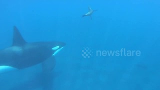 Sea lion narrowly escapes killer whale - Video