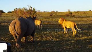 Mating lions interrupted by rhino - Video