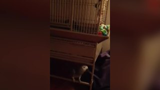 Cry Baby Parrot: A bird cries like a toddler in a cage