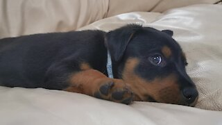 Adorable puppy gets caught with uncontrollable hiccups