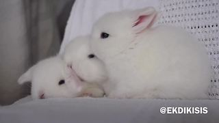 Fluffy grooming bunnies are just too cute for words! - Video