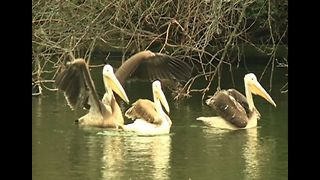 Pelicans Move Into Park - Video