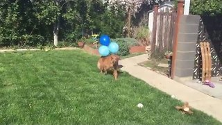 Dog Freaks Out at Balloons and Tries to Run Away From Them - Video