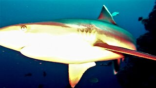 Researchers get much closer than expected with hungry sharks in Papua New Guinea