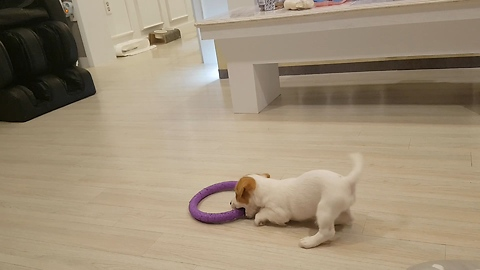 This Jack Russell playing with a hoop just like a Rhythmic gymnastics fairy!