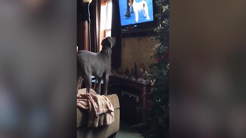 Cute Dog Watches A Dog Show On TV
