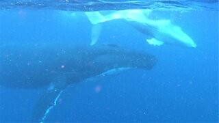 Mother and baby humpback whales rise from the depths beside swimmers