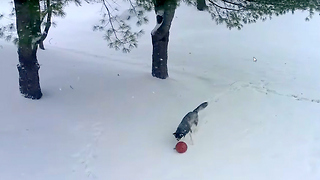 Siberian Husky Dog Play Soccer in the Snow