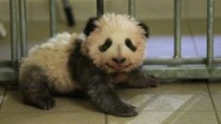 First French-Born Panda Takes His First Steps - Video