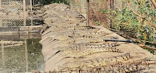 Bonnievale crocodile escape: 25 reptiles recaptured