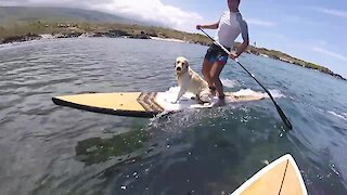 Golden Retriever joins owner for surfing session