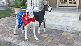 Great Dane Models Super Hero Halloween Costume - Video