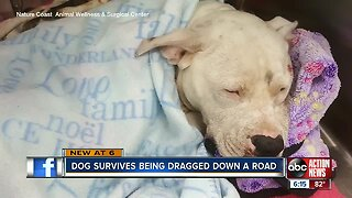 Pit bull recovers after being dragged by truck