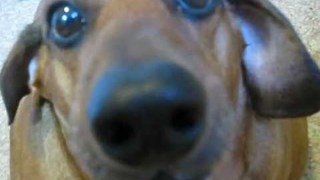 Dog Whines About Eating His Vegetables - Video