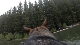 German Shepherd wearing GoPro swims and plays fetch - Video