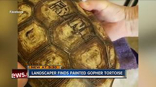 Landscaper finds painted gopher tortoise