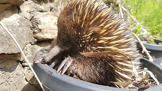 Flowerpot Echidna Has a Scratch Session - Video