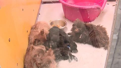 164 Pomeranians available for adoption today at Golden Knights practice