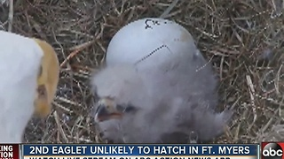 EAGLET WATCH 2017 | The second eaglet is unlikely to hatch in North Fort Myers - Video