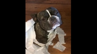 French Bulldog Gets Outed By His Best Friend - Video
