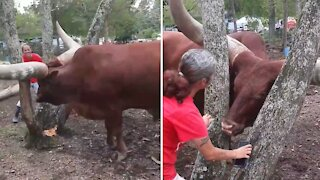 Playing hide and seek with a 1,600-pound steer