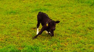 Newborn calf takes first steps on adorably wobbly legs