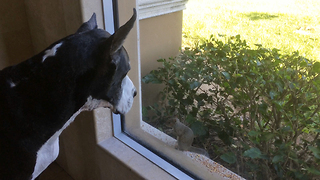 Great Dane and cats fascinated by fearless squirrel