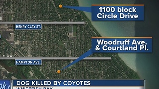 Dog Killed by Coyotes in Whitefish Bay - Video