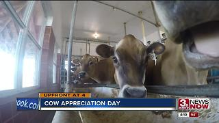 How some are thanking cows on cow appreciation day - Video