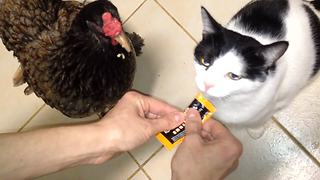 Cat shares treat with his chicken friend