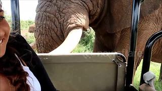 Elephant brushes up against open safari vehicle - Video