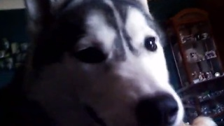 Siberian Huskies can't get enough playtime - Video