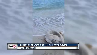 Sea Turtle Successfully Lays Eggs - Video