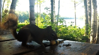 Red Squirrel Turns The Tables On Prankster - Video