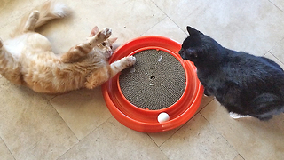Two Cats Play with with Cat Nip Ring Toy